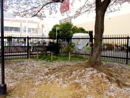 #03G3771桜の根本.jpg