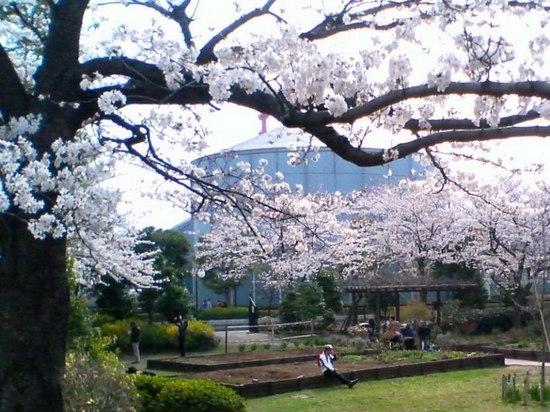 #03P004コルトンの桜図書館方向.jpg