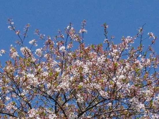 #04G3814里見公園頑張ってる桜.jpg