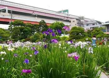 #05堀切菖蒲園(H20.6.19).JPG