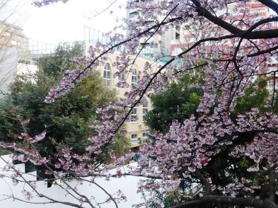 #05河津桜東郷公園160213_163038.jpg