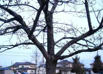 #08大河原・総合体育館脇・桜つぼみ(全体)288.jpg