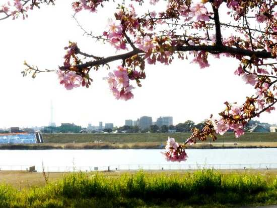 #C09江戸川・河津桜160219_153541.jpg