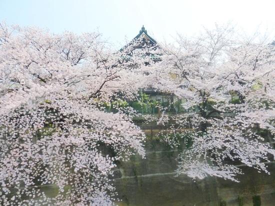 $13青丸⑥金剛寺の桜アP325.jpg