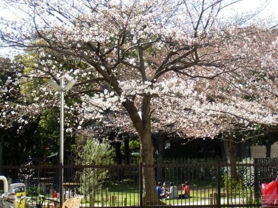 A04G3742コルトンプラザの桜4.jpg