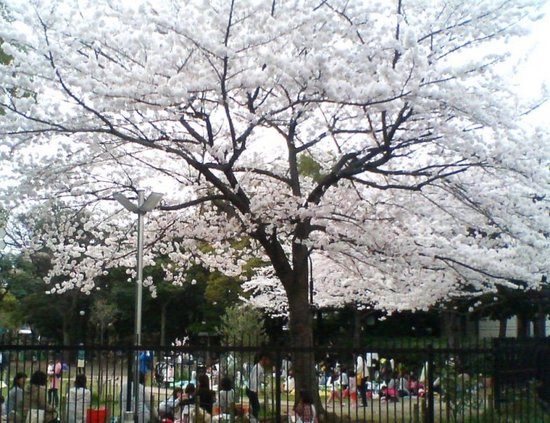 A05P015コルトンの桜(自転車置き場から).jpg