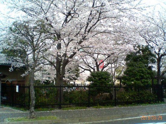 A06P016コルトンの桜(産業科学館から)  92.jpg