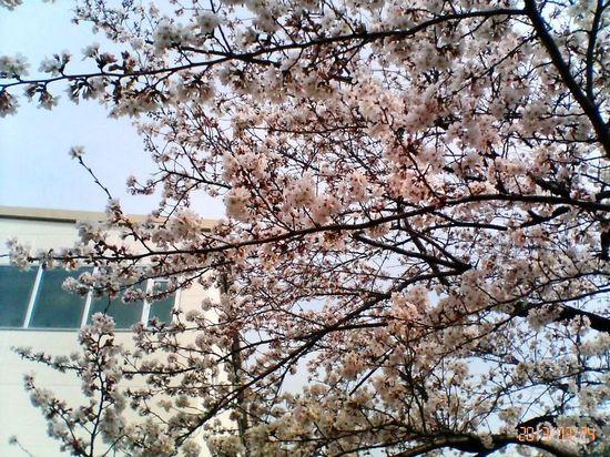 #01P006コルトンの桜プール方向.jpg