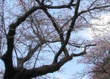 #07烏森公園の桜・つぼみもある282.jpg