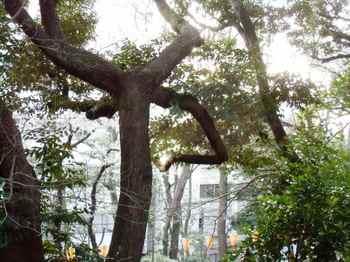 #10上野公園内奇妙な枝ぶりの木690.jpg